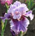 iris lilas, lavande, mauves, violets, pourpres, prune ou à dominante lilas, lavande ....